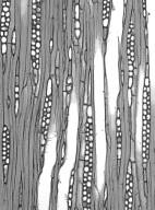 HAMAMELIDACEAE Parrotiopsis jacquemontiana