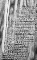 HYDRANGEACEAE Schizophragma integrifolium