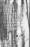 ICACINACEAE Ottoschulzia domingensis