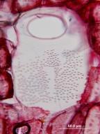 MELIACEAE Synoum glandulosum