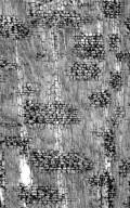 MELIACEAE Trichilia emetica