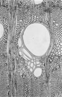 LEGUMINOSAE CAESALPINIOIDEAE Mimosoid Clade Vachellia etbaica
