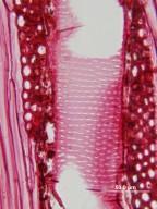 LEGUMINOSAE CAESALPINIOIDEAE Mimosoid Clade Senegalia greggii