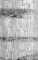 LEGUMINOSAE CAESALPINIOIDEAE Mimosoid Clade Albizia versicolor