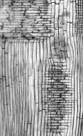 LEGUMINOSAE MIMOSOIDEAE Newtonia buchananii