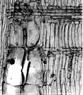LEGUMINOSAE CAESALPINIOIDEAE Mimosoid Clade Obolinga zanonii