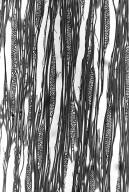 ATHEROSPERMATACEAE Doryphora sassafras