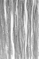 ATHEROSPERMATACEAE Laureliopsis philippiana