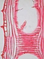 OLEACEAE Fraxinus americana