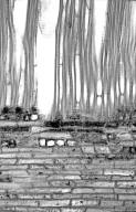 PLATANACEAE Platanus orientalis