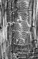 LEGUMINOSAE PAPILIONOIDEAE Ateleia cubensis