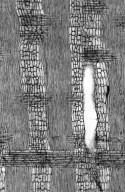 LEGUMINOSAE PAPILIONOIDEAE Ateleia glazioveana