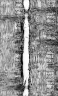 LEGUMINOSAE PAPILIONOIDEAE Bergeronia sericea