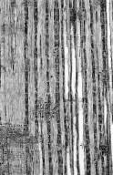 LEGUMINOSAE PAPILIONOIDEAE Chadsia coluteifolia