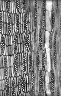 LEGUMINOSAE PAPILIONOIDEAE Craibia brownii