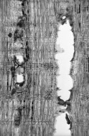 LEGUMINOSAE PAPILIONOIDEAE Dalbergia tucurensis
