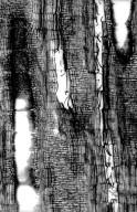 LEGUMINOSAE PAPILIONOIDEAE Derris elliptica