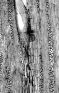 LEGUMINOSAE PAPILIONOIDEAE Derris uliginosa