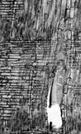 LEGUMINOSAE PAPILIONOIDEAE Exostyles venusta