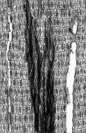 LEGUMINOSAE PAPILIONOIDEAE Pongamia pinnata