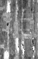 LEGUMINOSAE PAPILIONOIDEAE Myrocarpus fastigiatus