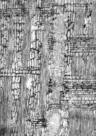 LEGUMINOSAE PAPILIONOIDEAE Ormosia costulata