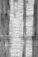 LEGUMINOSAE PAPILIONOIDEAE Ormosia dasycarpa