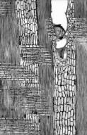 LEGUMINOSAE PAPILIONOIDEAE Ormosia panamensis