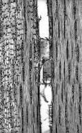 LEGUMINOSAE PAPILIONOIDEAE Callerya atropurpurea