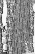 LEGUMINOSAE PAPILIONOIDEAE Platycyamus regnellii