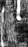LEGUMINOSAE PAPILIONOIDEAE Platysepalum chevalieri