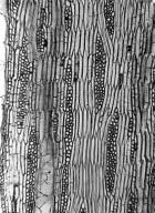 LEGUMINOSAE PAPILIONOIDEAE Robinia neomexicana