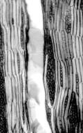 LEGUMINOSAE PAPILIONOIDEAE Wisteria floribunda
