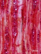 ROSACEAE Cercocarpus ledifolius