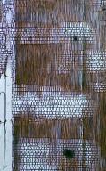 SAPINDACEAE Aporrhiza paniculata