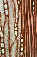 SAPINDACEAE Koelreuteria paniculata