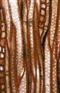 SAPINDACEAE Xanthoceras sorbifolia