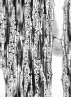 LECYTHIDACEAE Scytopetalum tieghemii