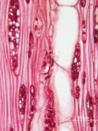 PICRAMNIACEAE Alvaradoa amorphoides