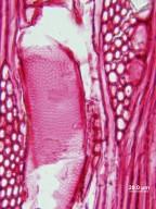 SAPOTACEAE Chrysophyllum oliviforme