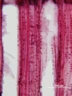 THEACEAE Gordonia lasianthus