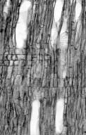 THEACEAE Stewartia sinensis