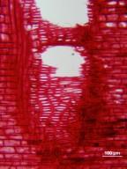 VITACEAE Cissus sterculiifolia