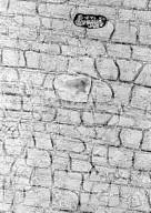 VITACEAE Rhoicissus tridentata cuneifolia