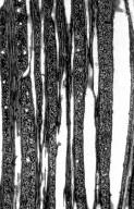 VITACEAE Vitis tiliaefolia