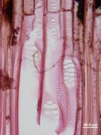 SIPARUNACEAE Siparuna pauciflora