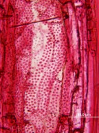 LEGUMINOSAE MIMOSOIDEAE Lysiloma latisiliquum