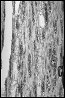 BURSERACEAE Tetragastris altissima