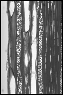 DILLENIACEAE Dillenia aurea