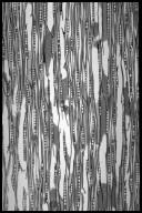 SAPINDACEAE Aesculus hippocastanum